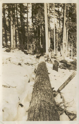 Loggers standing by a felled tree